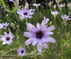 Catananche caerulea.jpg