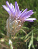 Catananche caerulea2.jpg