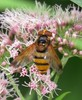 volucella_sp.jpg