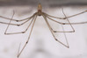 IMG_0193s Pholcus phalangioides.jpg