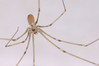 IMG_0287s Pholcus phalangioides.jpg