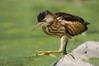 011 Little Bittern-007.JPG