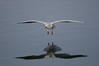 035 Black-Headed Gull-007.JPG