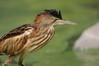 039 Little Bittern-004.JPG