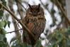 097 Long-Eared Owl.JPG