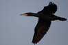 100 Great Cormorant.JPG