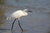 102 Little Egret.JPG