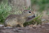 115 European Ground Squirrel.JPG