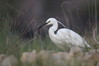 150 Little Egret.JPG