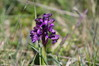 344 Green-Winged Orchid.JPG