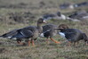 345 Greater White-Fronted Goose.JPG