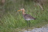 426 Black-Tailed Godwit-002.JPG
