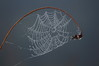 665 Spider Web Covered in Dew Drops.JPG