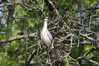 668 Black-Crowned Night Heron-002.JPG