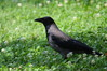 749 Hooded Crow.JPG