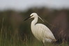 964 Little Egret.JPG