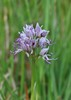Orchis IMG_1131.jpg